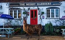Thumbnail for The Merry Harriers Llama Trekking Centre