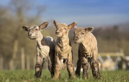 Bocketts Farm lambs