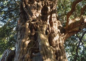 Photo Crowhurst Yew Tree - Diana Patient