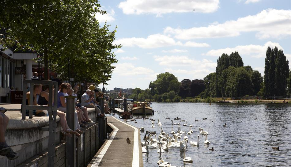 Swans on the Thames, Kingston-upon-Thames
