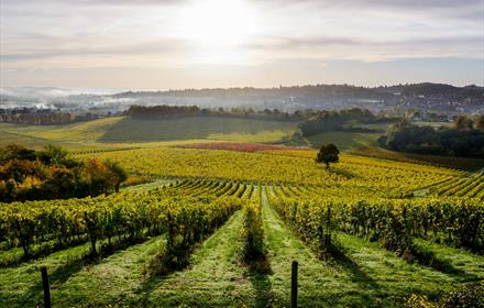 Harvest Experience at Denbies Wine Estate